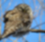 Carole Ledoux momentum photographer- an owl resting on a branch in nearby forest