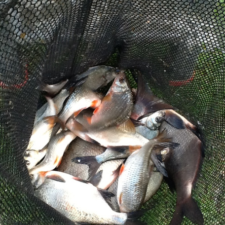 Bag of Roach and Bream