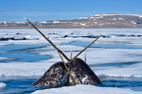 Heartbeat of a Narwhal