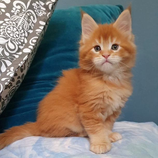 Maine Coon rosso.jpg