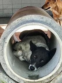 meg hogan, soi dog, thailand, animal hospital, animal rescue, dog in pipe, black and white dog, portfoliomasterymeghogan.com