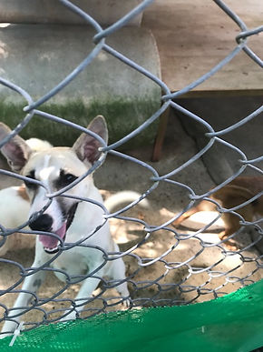 dog in shelter, dog, meg hogan, thailand, soi dog, small dog