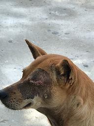 dog rescued, dog, animal shelter, animal hospital, soi dog, thailand, meg hogan, eye removed on dog