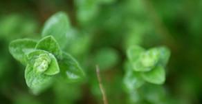 Medicinal and Culinary Herb Garden