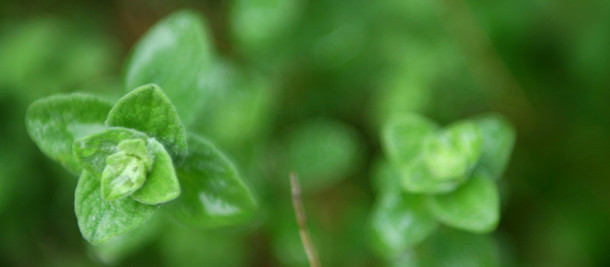 Safely Use Your Oregano Essential Oil