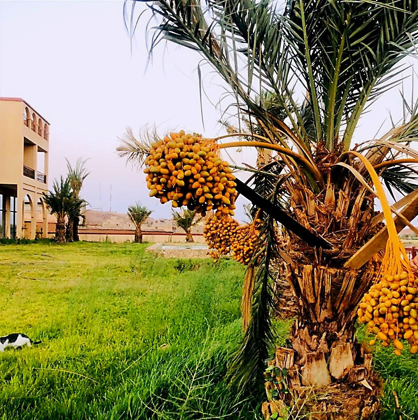 Moroco Date Palm in Ouarzazate