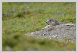 Etirement de la marmotte