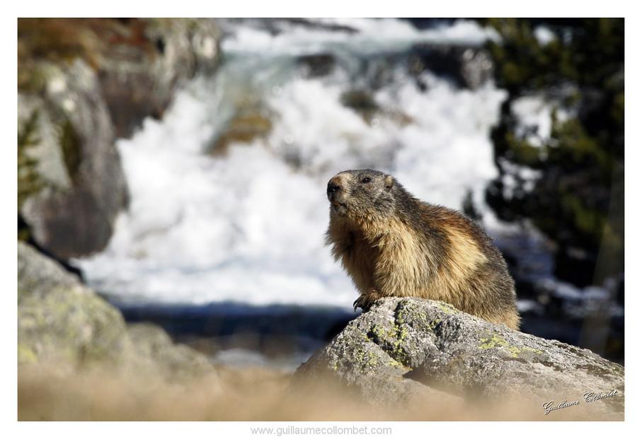 Marmotte et ruisseau