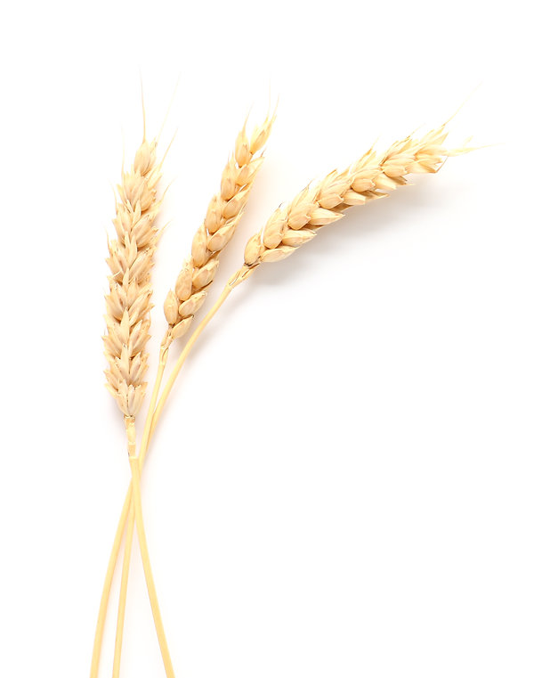 Wheat spikelets on white background.jpg