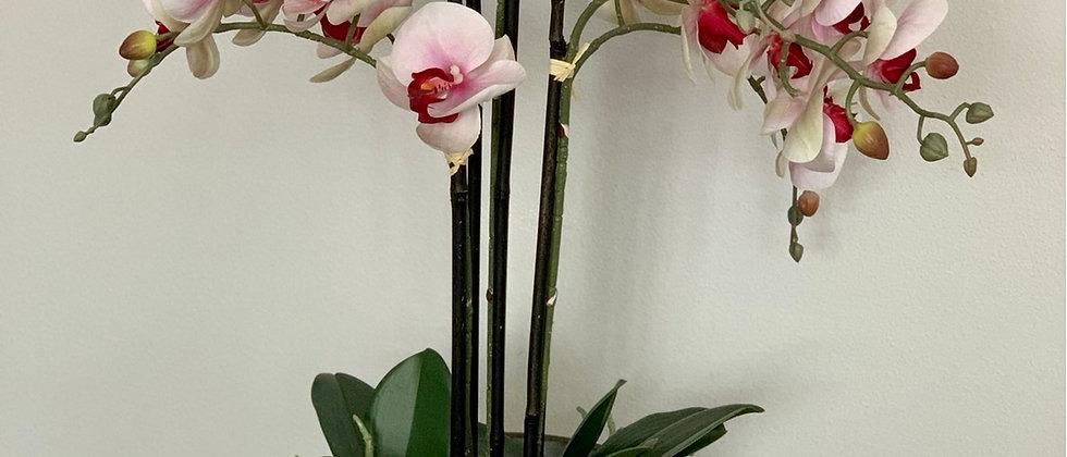 Orchidej v květináči