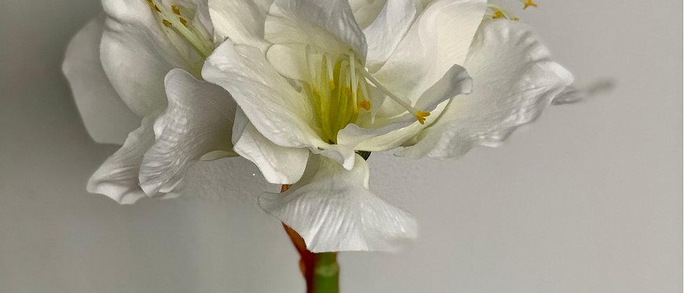 Amarylis bílý