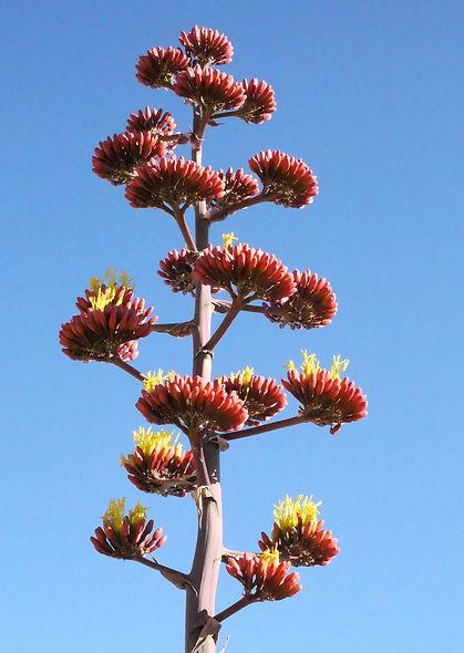 Cactus-flower.jpg