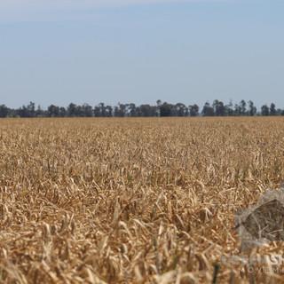 Barley 2.jpg