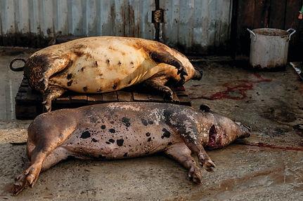 African Swine Fever - pig-world UK.jpeg