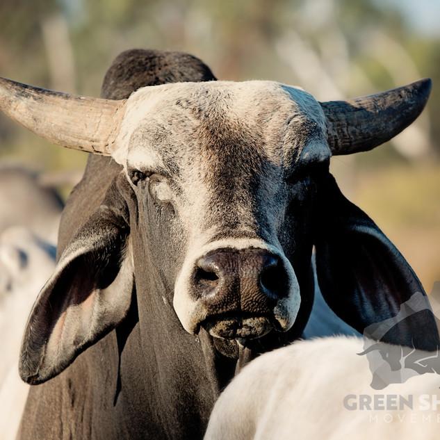 Brahman Bull.jpg
