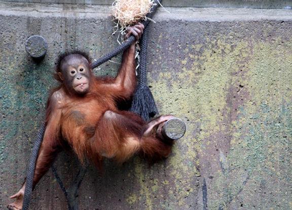 Orangutangunge-preview.jpg