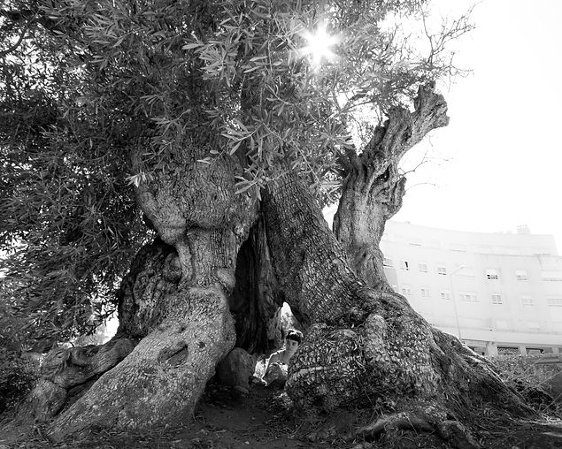 2,850 Year-Old Olive Tree