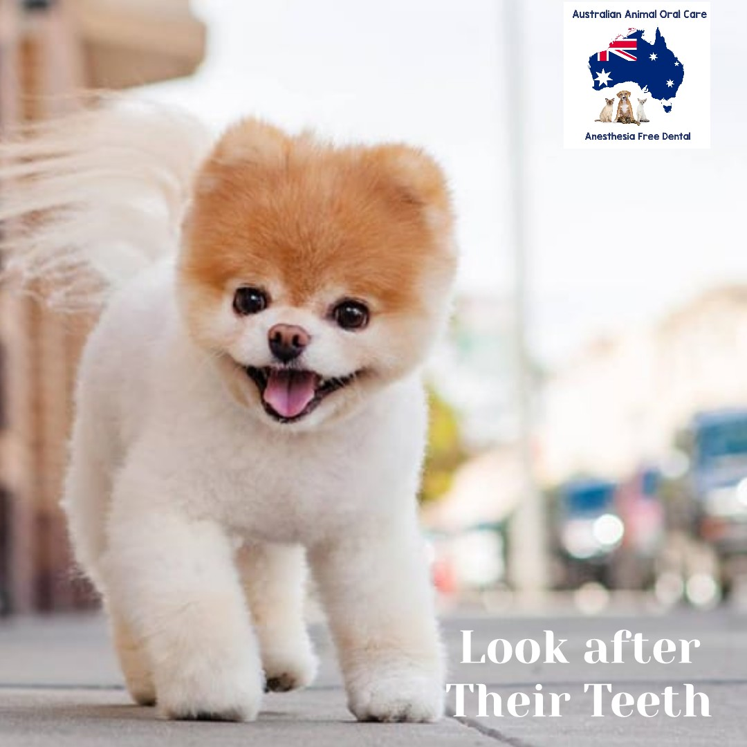 Dog Teeth Cleaning | Australian Animal Care - Anesthesia Free