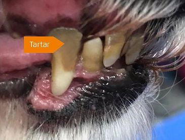 tartar-buildup-in-dogs-mouth.jpg