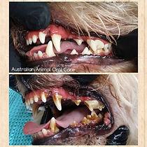 Dog Teeth Cleaning Sedation Free