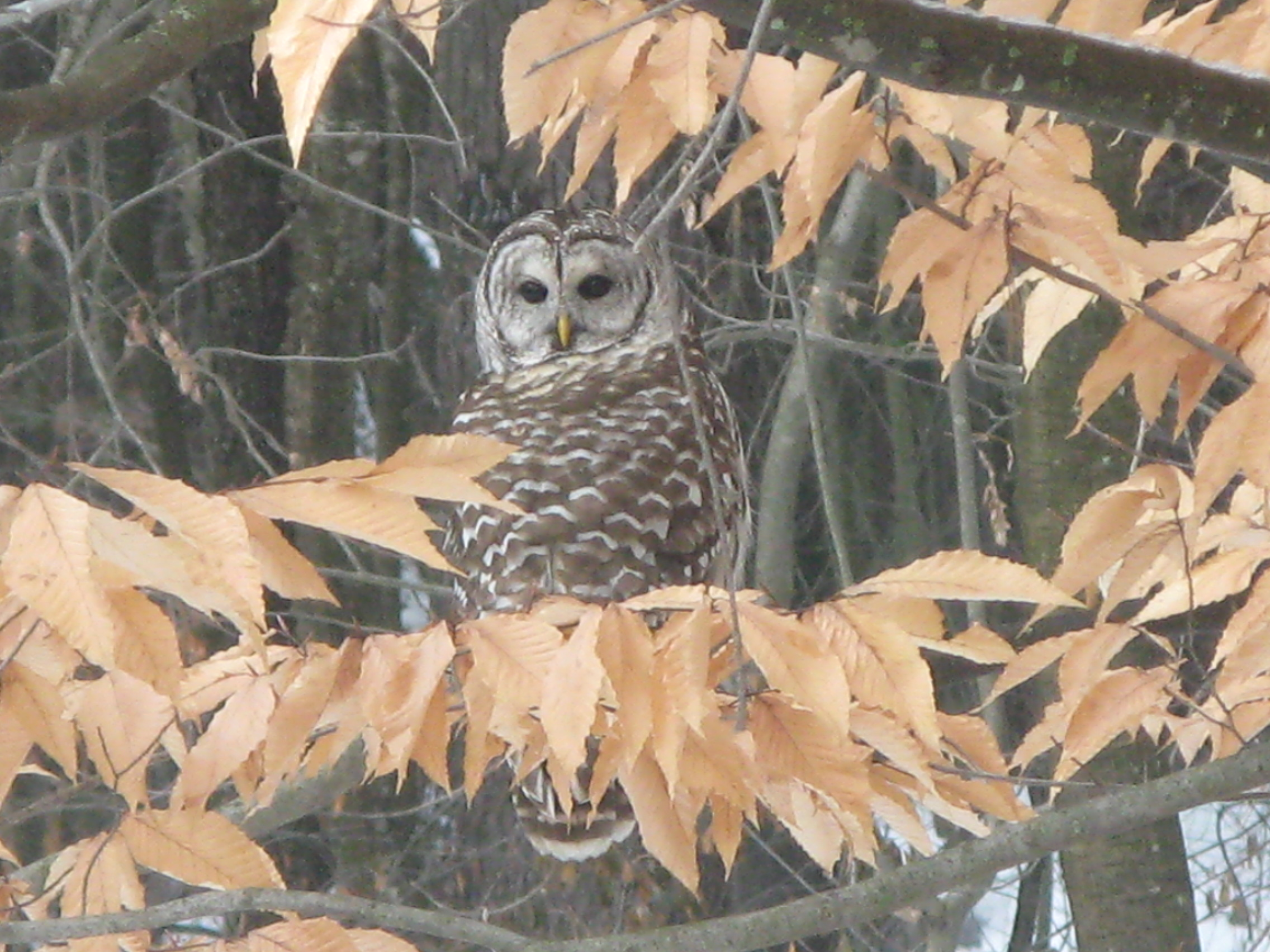 Barred Owl Burnbank 5 Jan 2018