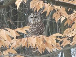 Barred Owl Burnbank 5 Jan 2018