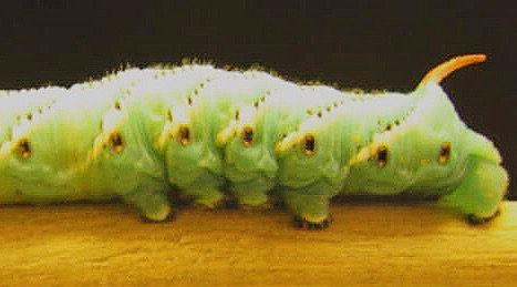 Caterpillar Program