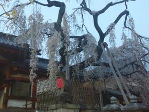 枝垂れ咲き