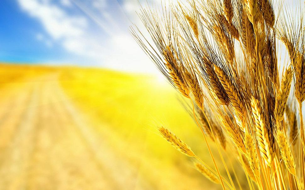 80412-wheat-grain-4k-ultra-hd-wallpaper.