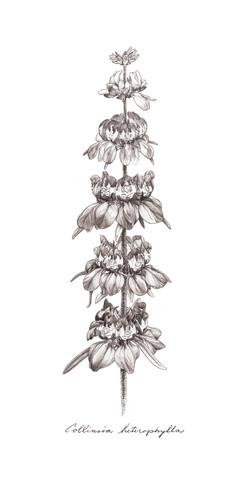 Colinsia heterophylla