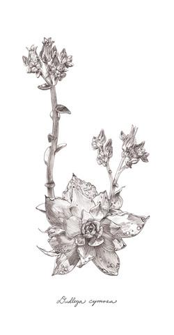 Dudleya cymosa