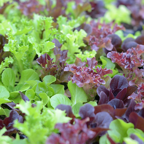 Mesclun Lettuce Mix , Seynab Family Farm