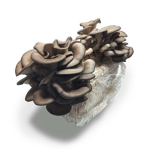 Mushroom Growing Kits , Maine Mushroom Co.