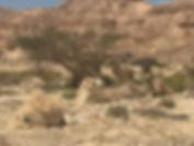 Camels in Negev Desert