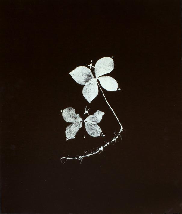 Paris quadrifolia / Ormbär ört Screentryck på lackad plywood 62 x 74 cm