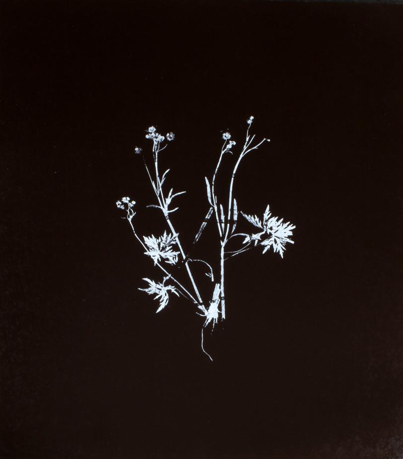 Ranunculus acris / Smör ranunkel Screentryck på lackad plywood 62 x 74 cm
