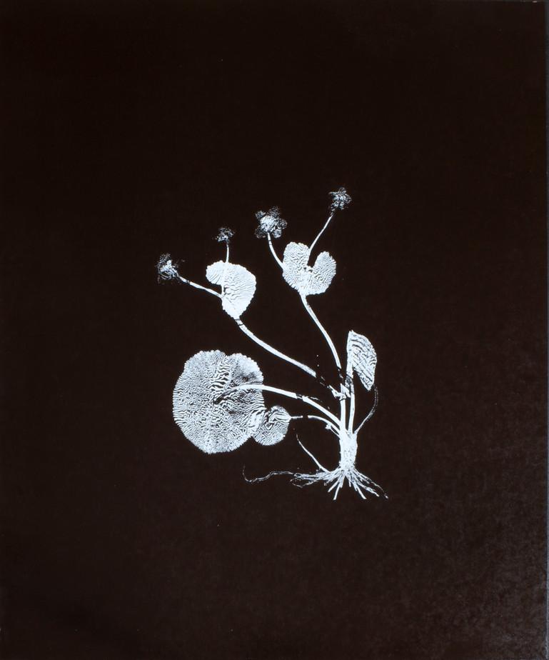 Caltha palustris / Kabbleka Screentryck på lackad plywood 62 x 74 cm