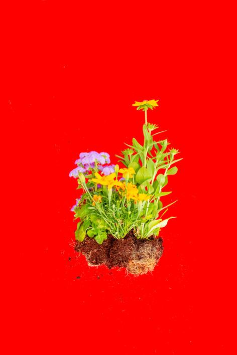 Red Fanua, 4