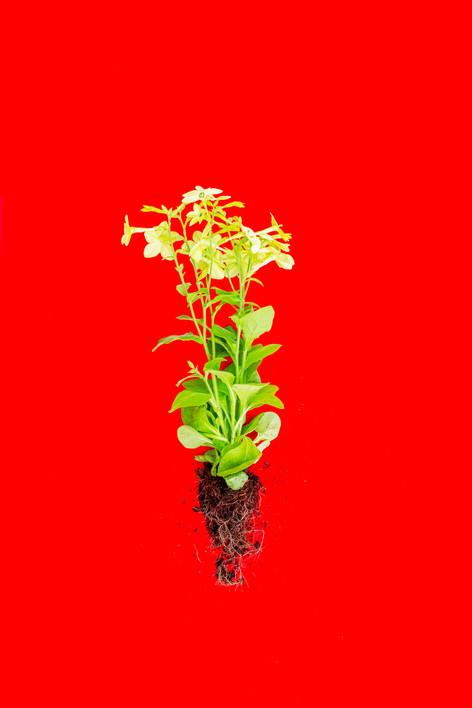 Red Fanua, 2