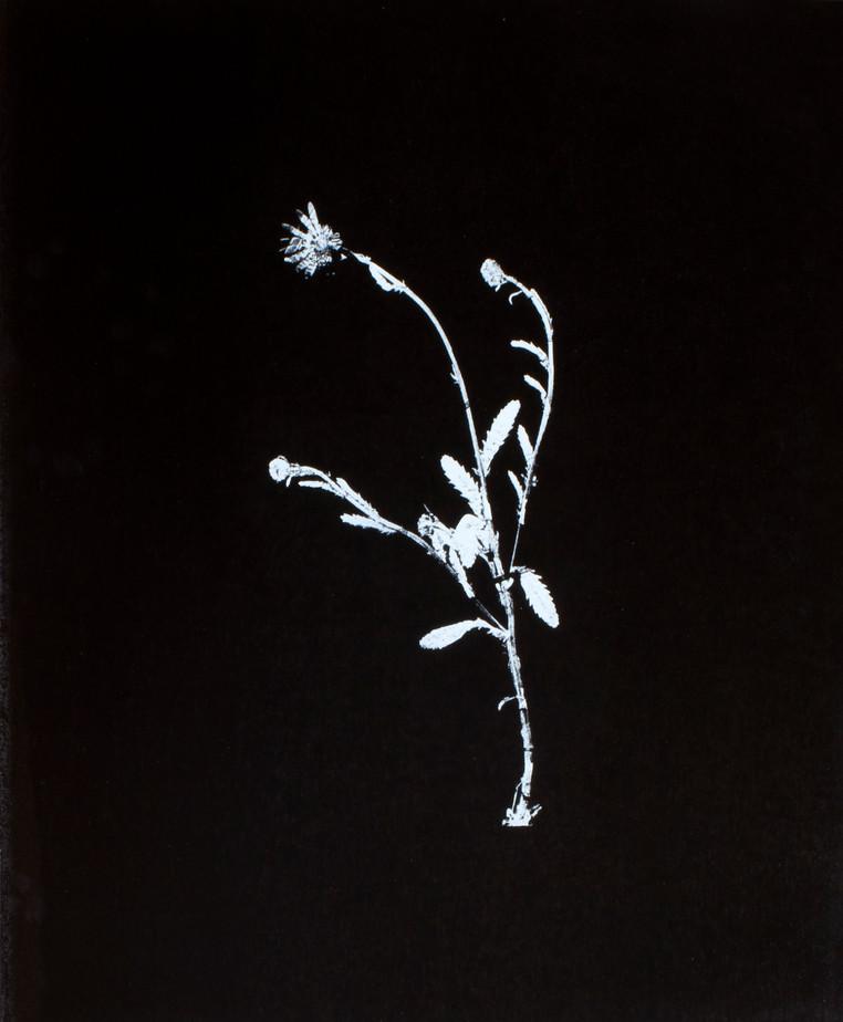 Chrysanthemum leucanthemum / prästkrage Screentryck på lackad plywood 62 x 74 cm