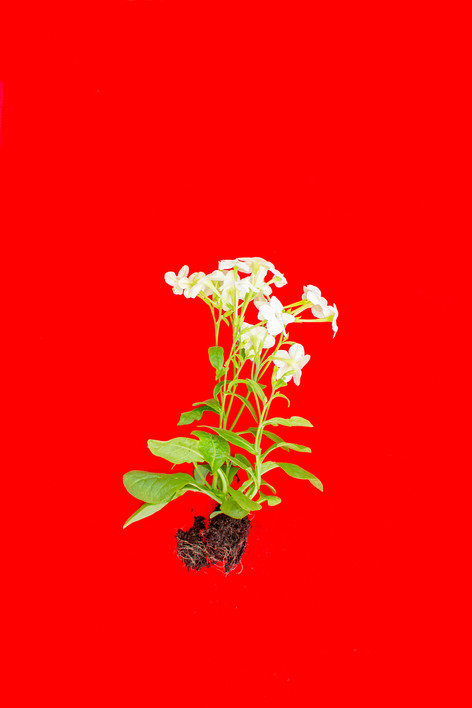 Red Fanua, 3