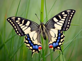 Обнаружены краснокнижные насекомые Московской области – бабочка-Махаон