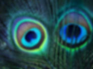 Peacock feathers. Feather eyespots of an