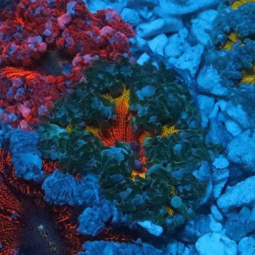 Premium Rock Flower Anemone- WYSIWYG