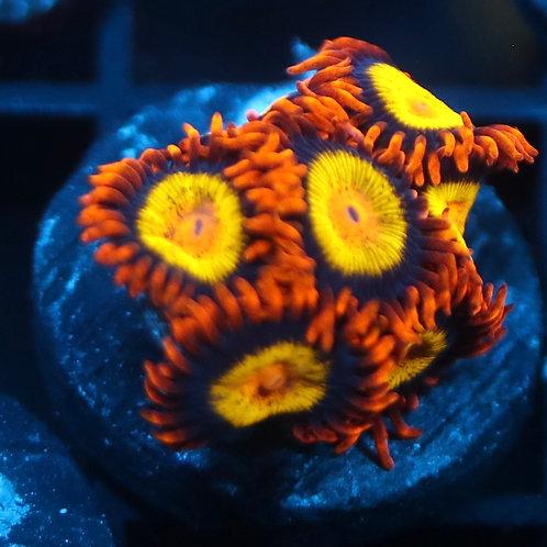Mandarin Oranges Mini Colony