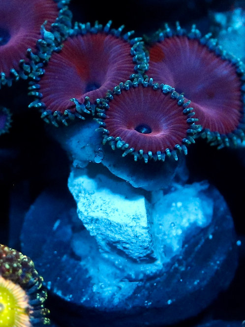 Purple Death Zoas