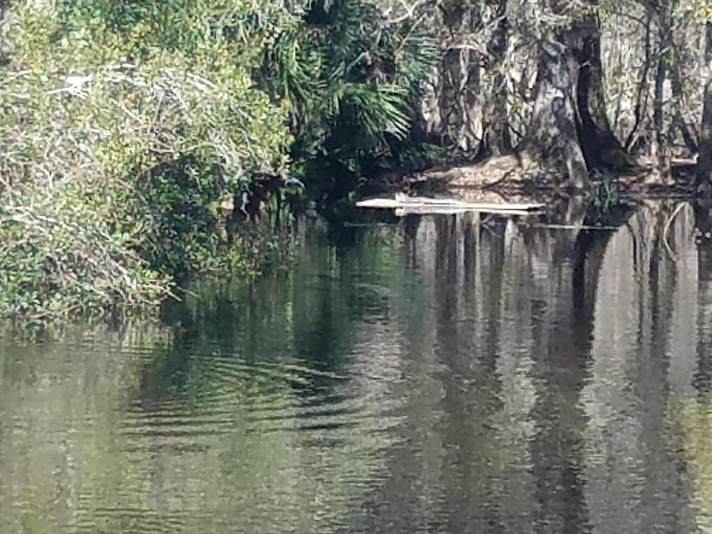alligator at manatee springs