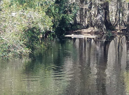 More Alligators Seen Because of Flooding Suwanee River