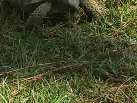 Gopher Tortoise is a Resident of Old Town Campground
