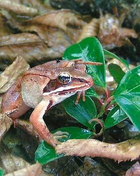 wood_frog_female-pbenjunas-2.jpg